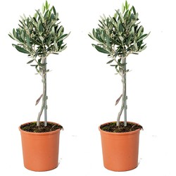 Floraya - Olijfboom op stam per 2 stuks   Olea Europaea - Buitenplant in kwekerspot ⌀14 cm - ↕40-50 cm