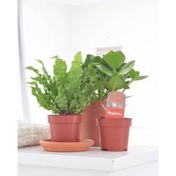 Combi deal - Air So Fresh pakket (3x luchtzuiverende plant)