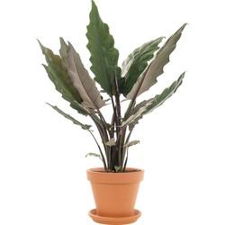 Alocasia 'Lauterbachiana' - Pot: Ø 25 cm