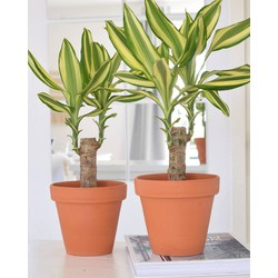 Mix - 2x Dracaena Yellow Coast 40cm