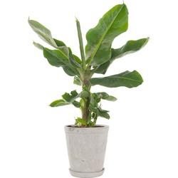 Bananenplant (Musa)