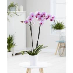 Green Bubble Orchidee Crush (Phalaenopsis) - 70cm