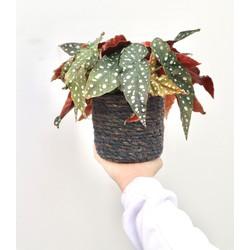 Begonia Stippenplant - 40cm