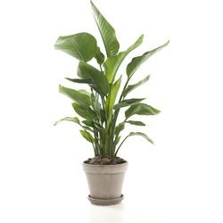 Paradijsvogelplant (Strelitzia 'Nicolai')