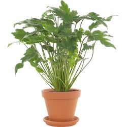 Philodendron 'Xanadu' incl. terracotta pot