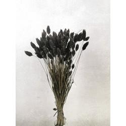Bries aan Zee Droogbloemen - wilde Phalaris in diverse kleuren - Zwart