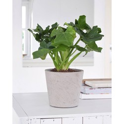 Philodendron Atom - 40cm