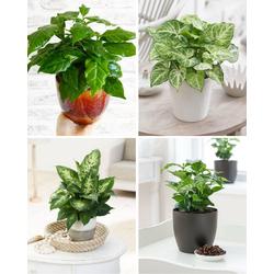 Combi deal - Keuzestress pakket (4x kleine planten)