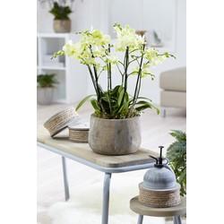3x orchidee multiflora