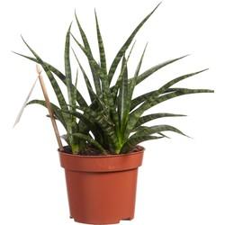 Sanseveria (Sanseveria Fernwood Punk - 12x30 cm)