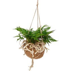 Floraya  - Humata 'Tyermannii' - Kamerplant in Kokodama's kokosvezel hangpot ⌀17 cm - ↕25-30 cm