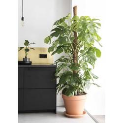 Monstera Gatenplant XXL (grote plant, 200 cm) incl. pot