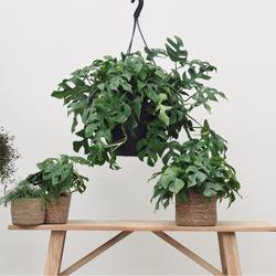 Hangplant Monstera 50cm hoog (Gatenplant)