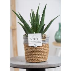 Bries aan Zee Aloe Arborescens Basket Iii - 13 cm