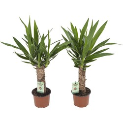 Yucca (diverse)