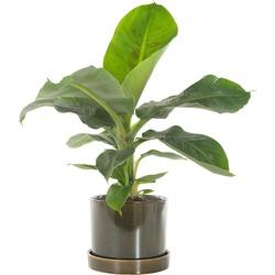 Bananenplant (musa) incl. 'Deep forest' pot