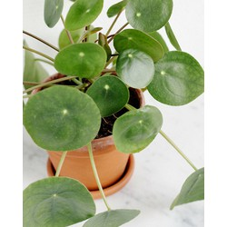 Combi deal  - 3x Pannenkoekenplant