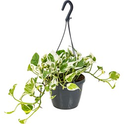 Floraya - Scindapsus 'N-Joy' in hangpot | Epipremnum - Kamerplant ⌀17 cm - ↕20 cm