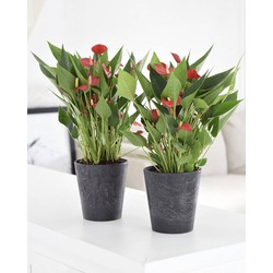 Anthurium Million Flowers Red - 40cm