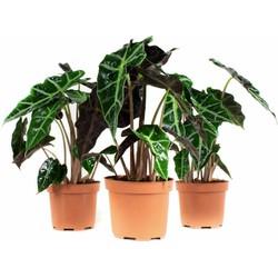Alocasia Polly - Olifantsoor of Skeletplant - 3 stuks