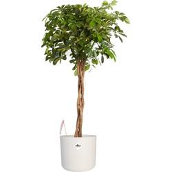 Schefflera Arboricola gold capella - Vingerboom - Met/zonder pot