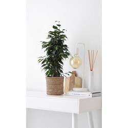 Ficus Danielle in mand