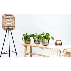 Green Bubble Combi deal  - 3x Pannenkoekenplant