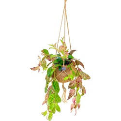 Floraya  - Aeschynanthus | Lipstickplant - Kamerplant in Kokodama's kokosvezel hangpot ⌀17 cm - ↕25-30 cm