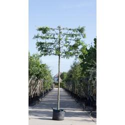 Zuil haagbeuk als leiboom Carpinus betulus Fastigiata h 320 cm st. omtrek 12 cm st. h 200 cm