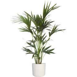 Howea Kentia Palm - 90-110-125 cm - Met of zonder pot
