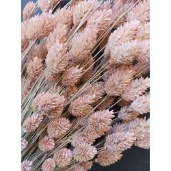 Wilde Phalaris in vijf waanzinnige kleuren - Frosted Pink