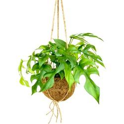 Floraya  - Gatenplant | Monstera Minima - Kamerplant in Kokodama's kokosvezel hangpot ⌀17 cm - ↕25-30 cm