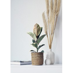 Green Bubble Ficus Tineke (Rubberplant) - 55cm