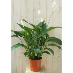 Lepelplant Spathiphyllum 120 cm