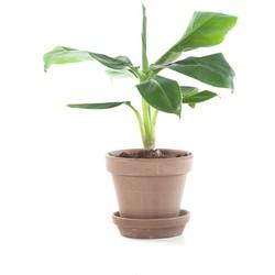Mini bananenplant (Musa) incl. taupe pot