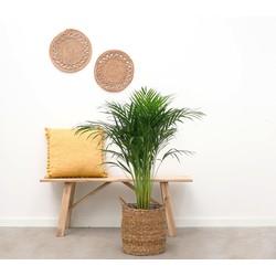 Green Bubble Areca Palm - 100cm