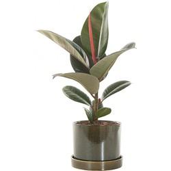 Rubberplant (Ficus Elastica Robusta) incl. 'Deep forest' pot