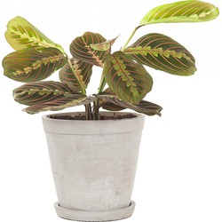 Prayerplant (Maranta 'fascinator') incl. 'Soft grey' pot