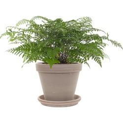 Varen (Asplenium Parvati) incl. taupe pot