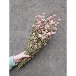 Gedroogde Gomphrena Globosa in Fuchsia, Roze en Paars - Rose
