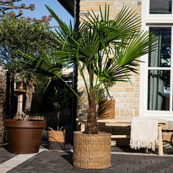 Green Bubble Trachycarpus Fortunei  - 140 cm