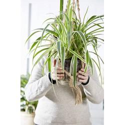Combi deal - 4x Graslelie (Chlorophytum)