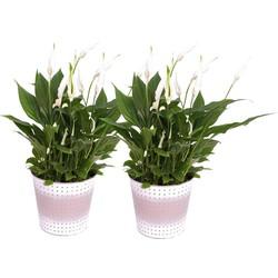Spathiphyllum Pearl Cupido - Lepelplant - 2 stuks in zinken pot