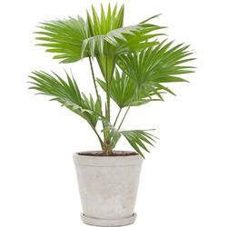 Waaierpalm (Livistona 'Rotundifolia') incl. 'Soft grey' pot