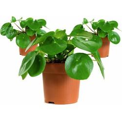 Pannenkoekenplant - Peperomioides - 3 stuks