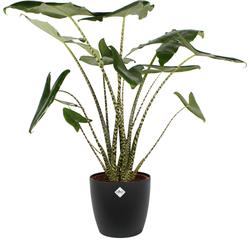 Alocasia Zebrina - 100cm