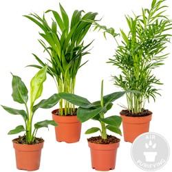 Floraya - 4x Hippe kamerplanten   Strelitzia - Chamaedorea - Musa - Areca   Kwekerspot D12 cm - H 25-40 cm