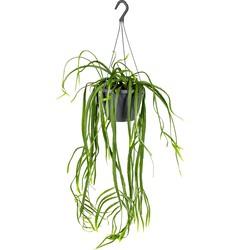 Floraya - Lepismium 'Bolivianum' in hangpot - Kamerplant ⌀17 cm - ↕20 cm
