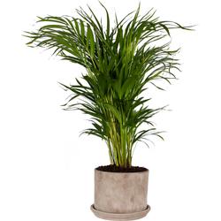 Areca Palm in pot - 90cm