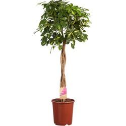 Vingersboom Schefflera - 100cm